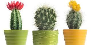 daun kaktus