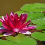 ciri khusus tumbuhan teratai